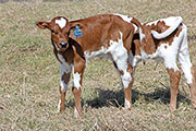 Iron Trophy Calf 2014 - Iron Trophy x Cleat - 2014 Bull - a_1031