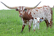Longhorn Cow, Tempting Trophy with her 2014 baby calf on Belmont County Ohio Pasurelands.