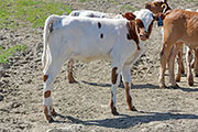 Snap Strap Calf 2014 - Snap Strap x Clear Point - 2014 Heifer - a_2488