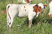 Snap Strap Calf 2014 - Snap Strap x Clear Point - 2014 Heifer - a_4038