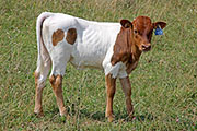 Jiffy News - Jiffy Jangler x News Break - 2014 Heifer - a_5300