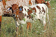 Jest Respect Calf 2014 - Jest Respect x Cleat - 2014 Heifer - a_5438