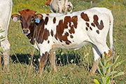 Jest Respect Calf 2014 - Jest Respect x Cleat - 2014 Heifer - a_6582