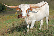 Texas Longhorn Exhibition_Steer - Noble Attempt x Clear Win - Steer - Photo Number: a_7047.jpg