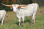 Texas Longhorn Exhibition_Steer - Thumbelina x Drag Iron - Steer - Photo Number: a_7079.jpg