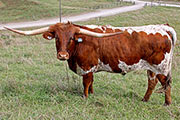 Texas Longhorn Exhibition_Steer - Church Mouse - Photo Number: a_7844.jpg