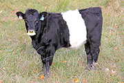 Dip Tally Calf 2014 - Dip Talley x Graphic Progress - 2014 Heifer - a_8687