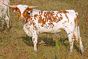Texas Longhorn Dam - Makita - Photo Number: a_9026.jpg