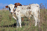 Texas Longhorn Exhibition_Steer - Tempt Vainly x Plumb Line - Steer - Photo Number: a_9323.jpg
