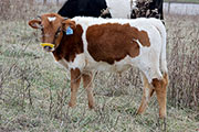 Shy Sky Calf 2014 - Shy Sky x Cleat - 2014 Bull - a_9663