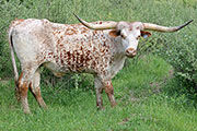 Texas Longhorn Exhibition_Steer - Chosen Rascal - Photo Number: b_2406.jpg