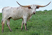 Texas Longhorn Exhibition_Steer - Thumbelina x Drag Iron - Steer - Photo Number: b_2409.jpg