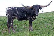 Texas Longhorn Exhibition_Steer - Zee Lap x News Flash - Steer - Photo Number: b_2424.jpg
