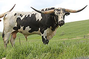 Texas Longhorn Sire - Plumb Line - Photo Number: b_2454.jpg