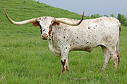 Texas Longhorn Exhibition_Steer - Snack Box - Photo Number: b_2617.jpg