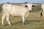 Texas Longhorn Exhibition_Steer - Grand Check - Photo Number: b_4955.jpg