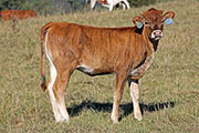Tibina - Sought Clear x Tibbs - 2015 Heifer - b_5289