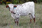 Matchless Calf 2015 - Matchless x Rodeo Max - 2015 Heifer - b_6017