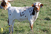 Clear Sequoia 2015 Calf - Clear Sequoia x Lots Of Flare - 2015 - b_7066
