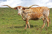 Texas Longhorn Dam - Jester - Photo Number: b_7169.jpg
