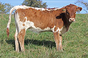 b_7685.jpg - Velvet Streak x Clear Point - 2015 Heifer