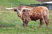 Texas Longhorn Reference_Sire - Annex - Photo Number: b_7879.jpg