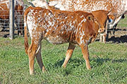 b_8039.jpg - Tool Time x Lots Of Flair - 2015 Heifer