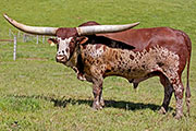 Watusi Sire - Titan Wolf - Photo Number: c_1525.jpg