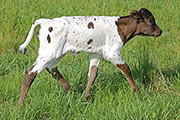 c_2101.jpg - Overdressed x Reckon So - 2016 Heifer