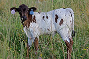 c_3305.jpg - Top'O x Reckon So - 2016 Heifer