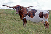 Texas Longhorn Reference_Cow - Toss The Jam - Photo Number: c_3486.jpg