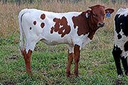 c_4265.jpg - Grandstand x Reckon So - 2016 Heifer