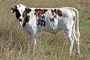 c_5007.jpg - Jama x Clear Point - 2016 Bull