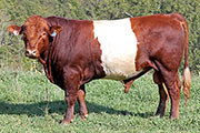 Bull-2015 - Scarlet Champ - Photo Number: c_5355.jpg