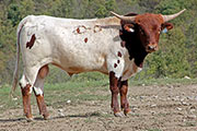 Bull-2015 - Unknown Genetics - Photo Number: c_6128.jpg