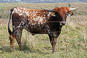 Texas Longhorn Exhibition_Steer - Jest Respect x Drag Iron - 2015 - Photo Number: c_6761.jpg