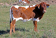 Heifer-2016 - Fast Iron x Rodeo Max - Photo Number: c_7861.jpg