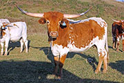 Texas Longhorn Exhibition_Steer - Obvious Fact x Clear Win - Ex Steer - Photo Number: c_8221.jpg