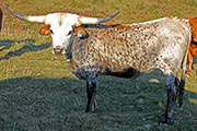 Texas Longhorn Exhibition_Steer - Limited Annex - Photo Number: c_8222.jpg