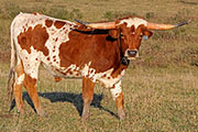 Texas Longhorn Exhibition_Steer - Game Changer x Rodeo Max - Ex Steer - Photo Number: c_8240.jpg