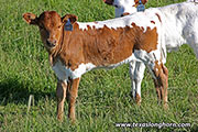 d_2052.jpg - Obvious Top x Clear Point - 2017 Heifer