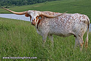 Texas Longhorn Reference_Cow - Silent Iron - Photo Number: d_2581.jpg