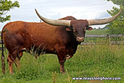 Texas Longhorn Reference_Sire - Clear Point - Photo Number: d_3064.jpg