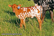 d_3203-calf.jpg - Over Marked x Tuxedo - 2017 Heifer