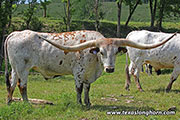 Texas Longhorn Exhibition_Steer - Shot of Jubal - Photo Number: d_3242.jpg