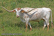 Texas Longhorn Exhibition_Steer - Crafty Clint - Photo Number: d_3644.jpg