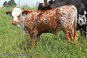 d_4168.jpg - Giz Over x High Noon - 2017 Bull