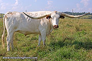 Texas Longhorn Exhibition_Steer - Grand Check - Photo Number: d_4211.jpg