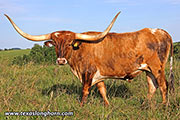 Texas Longhorn Exhibition_Steer - Jolted Tool - Photo Number: d_4912.jpg