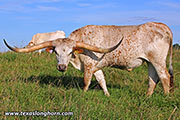 Texas Longhorn Exhibition_Steer - Plumb Shady - Photo Number: d_4921.jpg